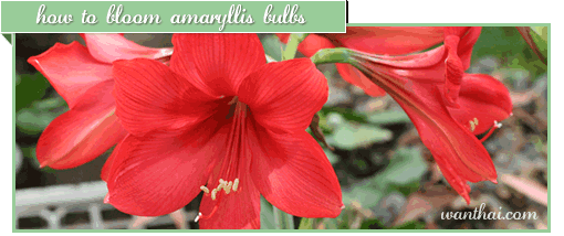 How to bloom Amaryllis bulbs