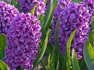 ไฮยาซินธ์ Hyacinths Miss Saigon