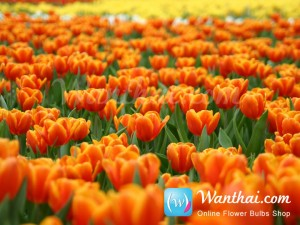 Tulip World Favourite