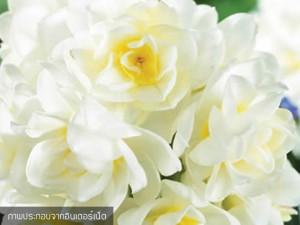 Cluster Daffodils Erlicheer