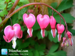 Dicentra Spectabilis Bleeding Heart