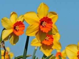 แดฟโฟดิล Daffodils Ambergate