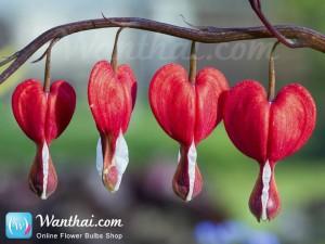 หทัยหยาดทิพย์ Bleeding Heart Valentine