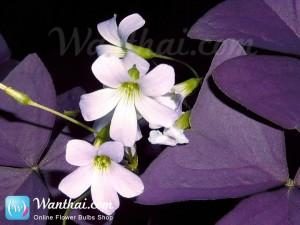 ดอกผีเสื้อราตรี Oxalis Triang Myke