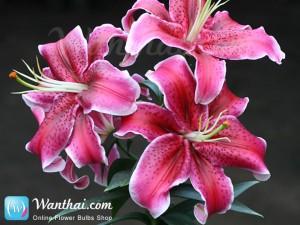 Lily La Mancha